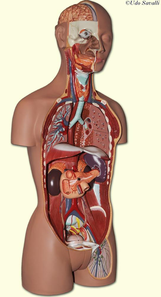Human anatomy location of organs