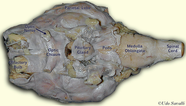 Sheep brain anatomy ventral - photo#9
