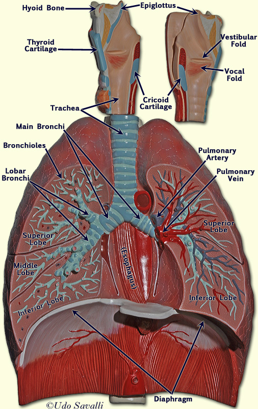 Teachers Guide Respiratory System Grades 3 to 5