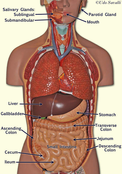 Lung additionally Renal calyx additionally Anatomy Terms besides 08  20SPINAL 20NERVES  20NERVE 20PLEXUSES moreover B76b2090 243e 429a 8144 2e45bda6ab75 8. on located in the ventral cavity organs