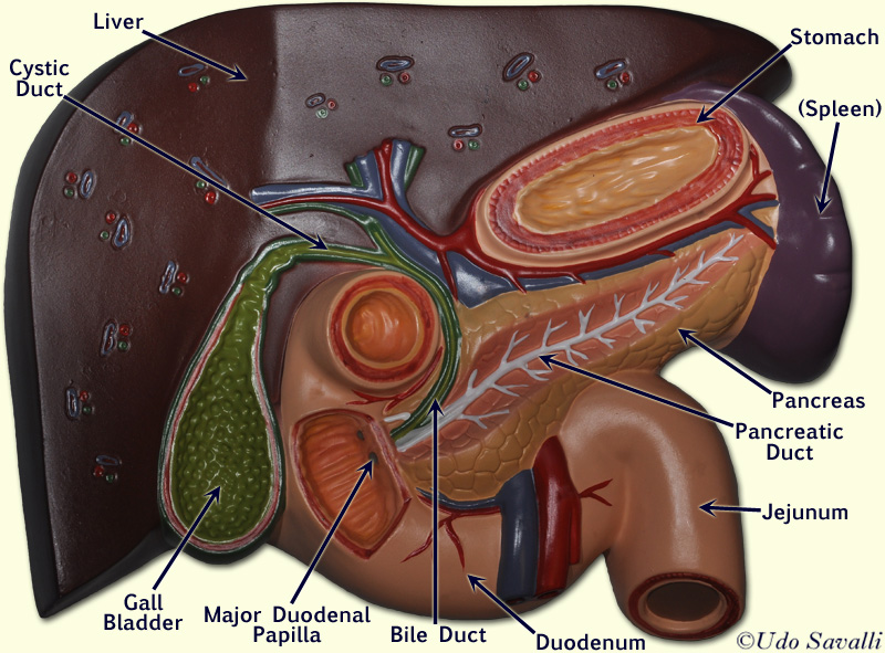 Liver Model Anatomy images