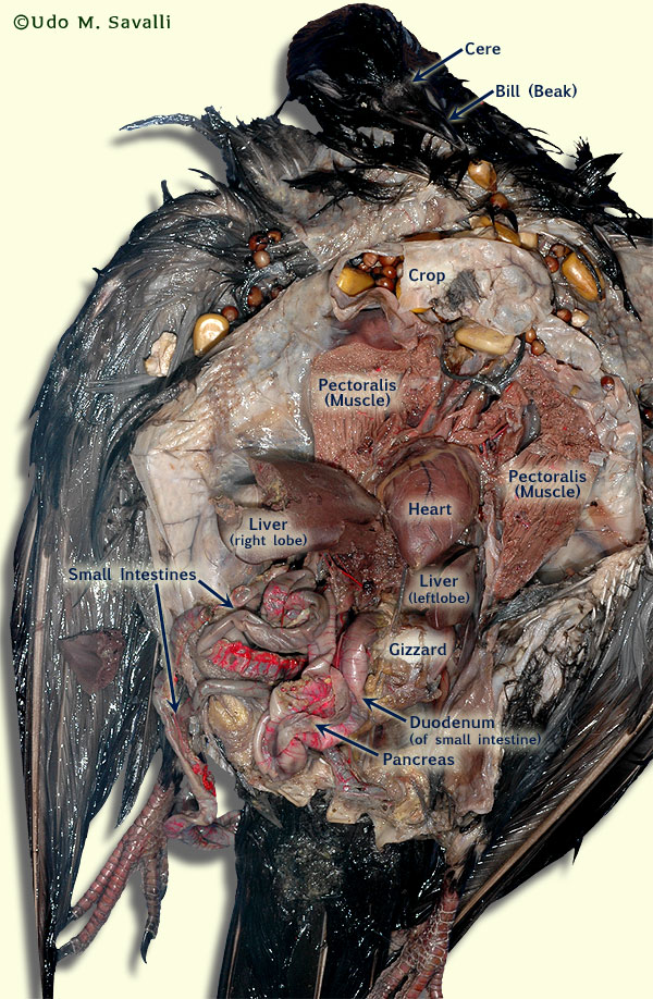 index of bio370 anatomy anatomyimages rh savalli us Pigeon Dissection Diagram Pigeon Dissection Guide Template