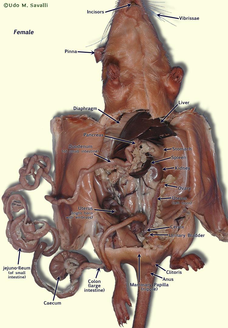 Mudpuppy Internal Anatomy Diagram - Auto Electrical Wiring Diagram •