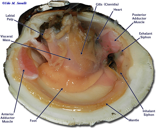 Anatomy of a razor clam